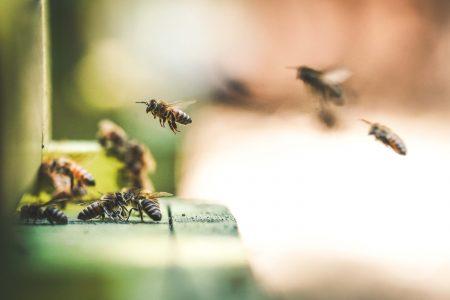 koloni_pollinera